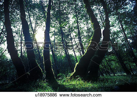 Stock Images of HOH National First Washington Rain Forest Olympic.