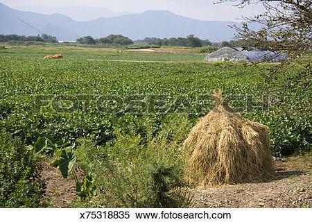 Stock Image of Soybean( Glycine max) field, Omi, Japan x75318835.