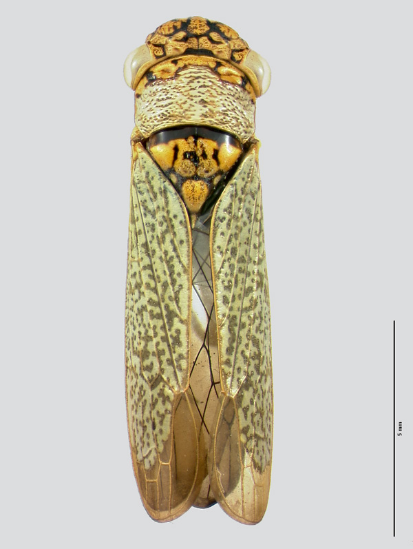 Sharpshooter Leafhoppers.