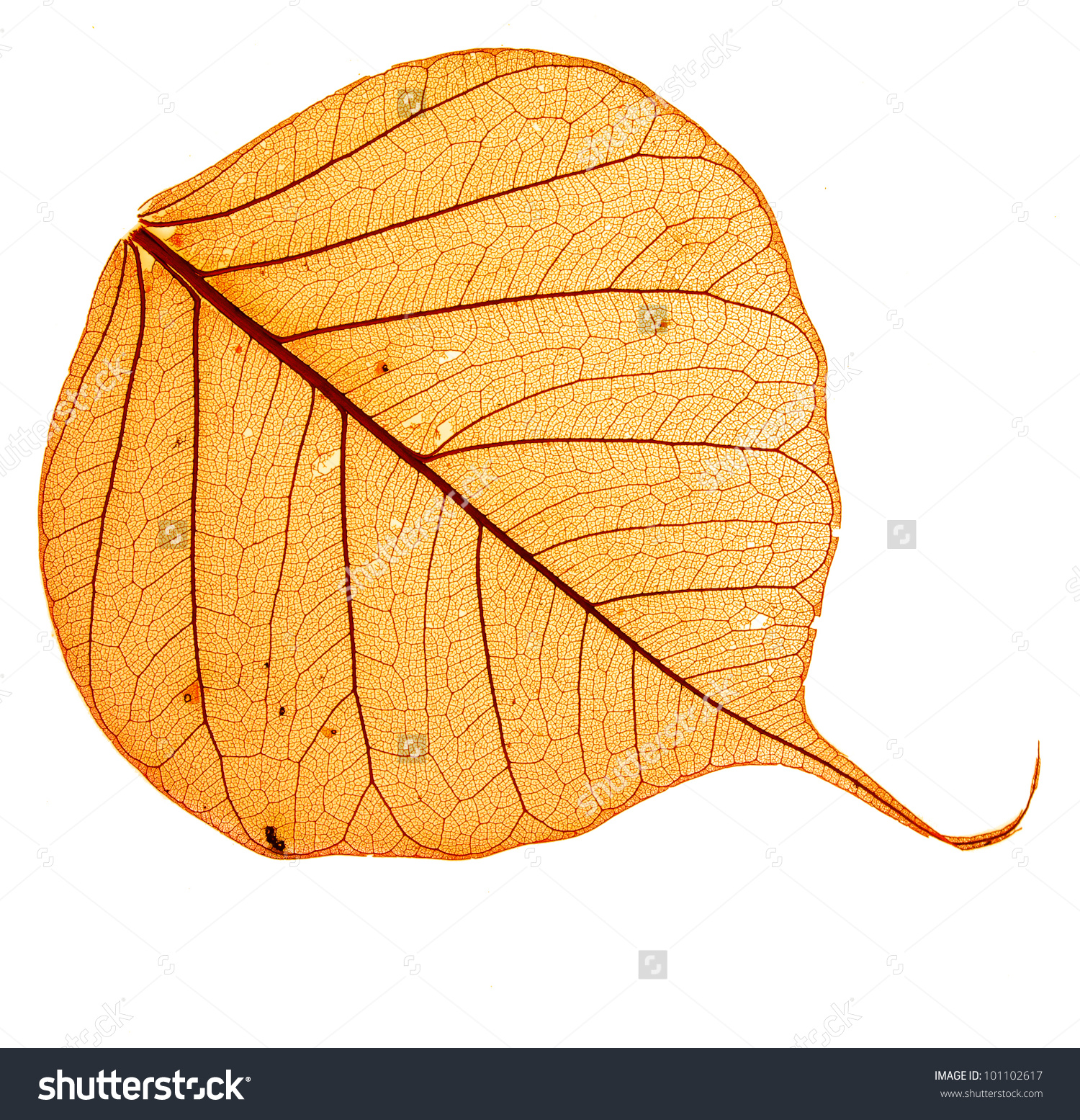 One Orange Dry Leaf Bodhi Structure Stock Photo 101102617.