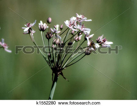 Stock Photography of Autumn Wild Onion H.