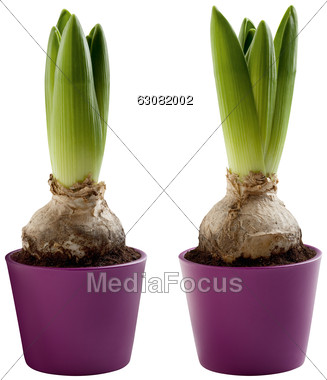 Stock Photo Hyacinths Onion In Flower Pot Clipart.