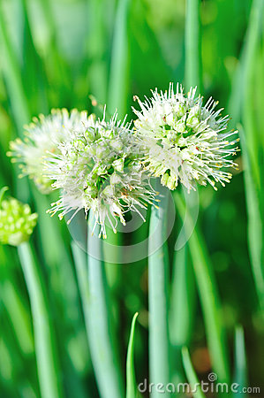 Shallot Onion Flower Stock Photo.