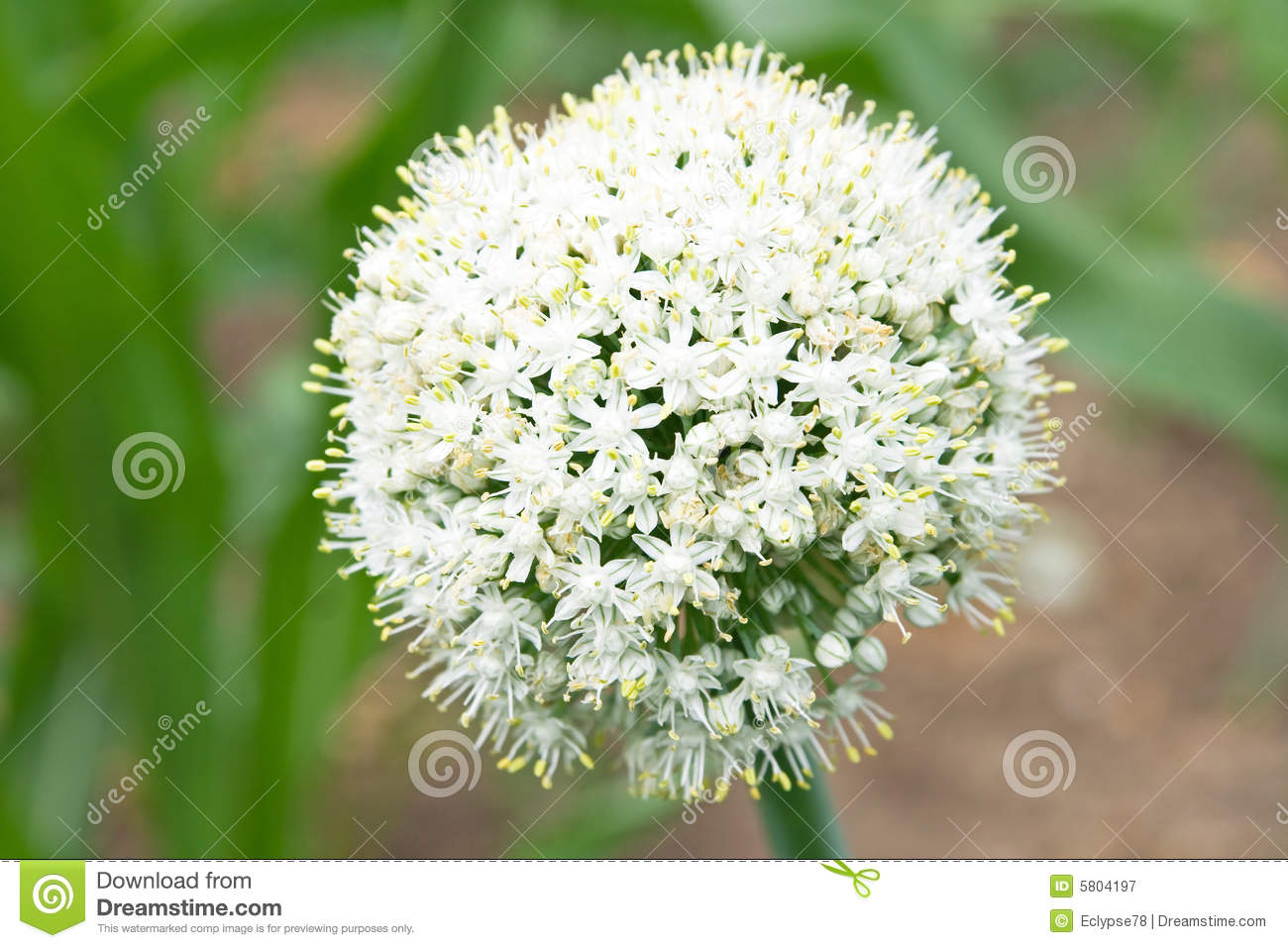 Onion Flower Head Royalty Free Stock Photography.
