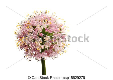 Picture of Onion flower.