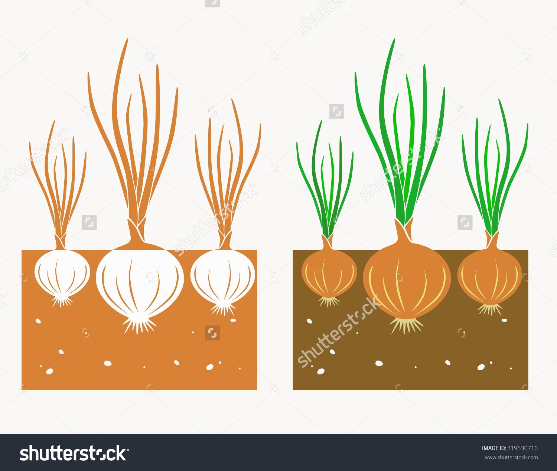 Onion plant clipart.