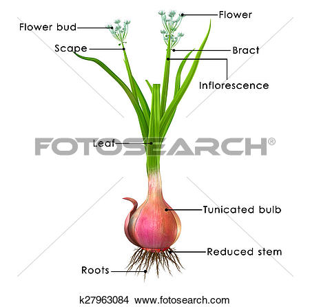 Drawings of Allium cepa (onion tree) k27963084.