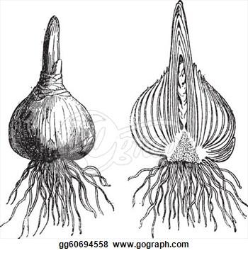 Onion Bulb Clip Art.