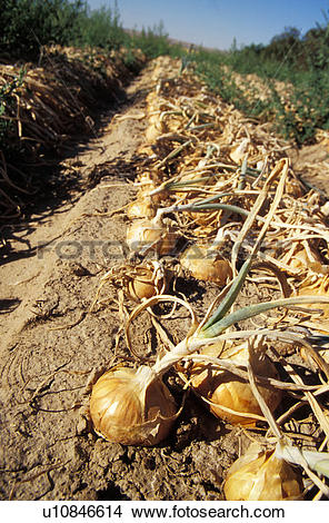 Stock Photo of Walla Walla Onion Harvest u10846614.