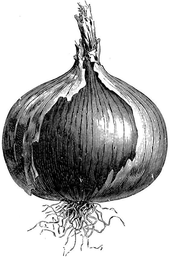 Naples Giant Rocca Onion.
