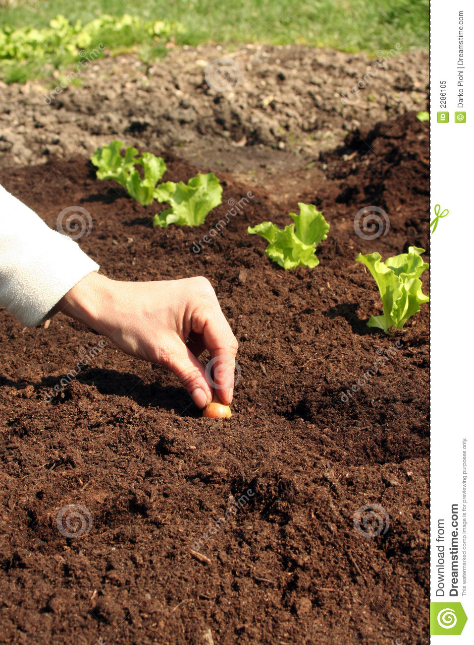 Onion Plant In Fresh Soil Royalty Free Stock Photo.