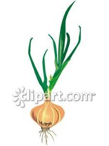 Onion Plant Clip Art.