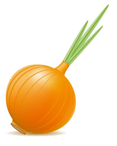 onion vector illustration.