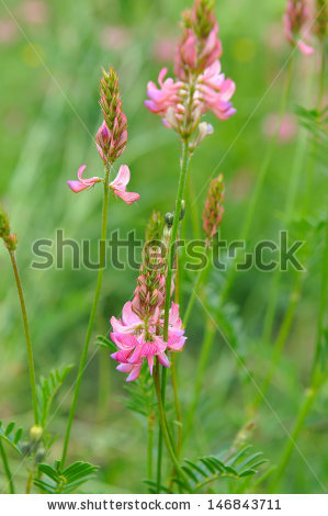 Onobrychis Viciifolia Stock Photos, Images, & Pictures.