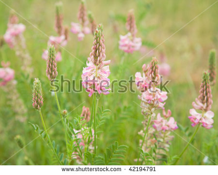 Flowering Onobrychis Sainfoin Meadow Summer Stock Photos, Images.