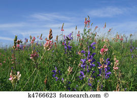 Onobrychis viciifolia Stock Photo Images. 19 onobrychis viciifolia.