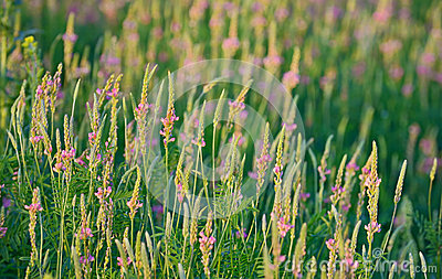 Sainfoin (Onobrychis Viciifolia) Plant In With Pink Flowers Stock.