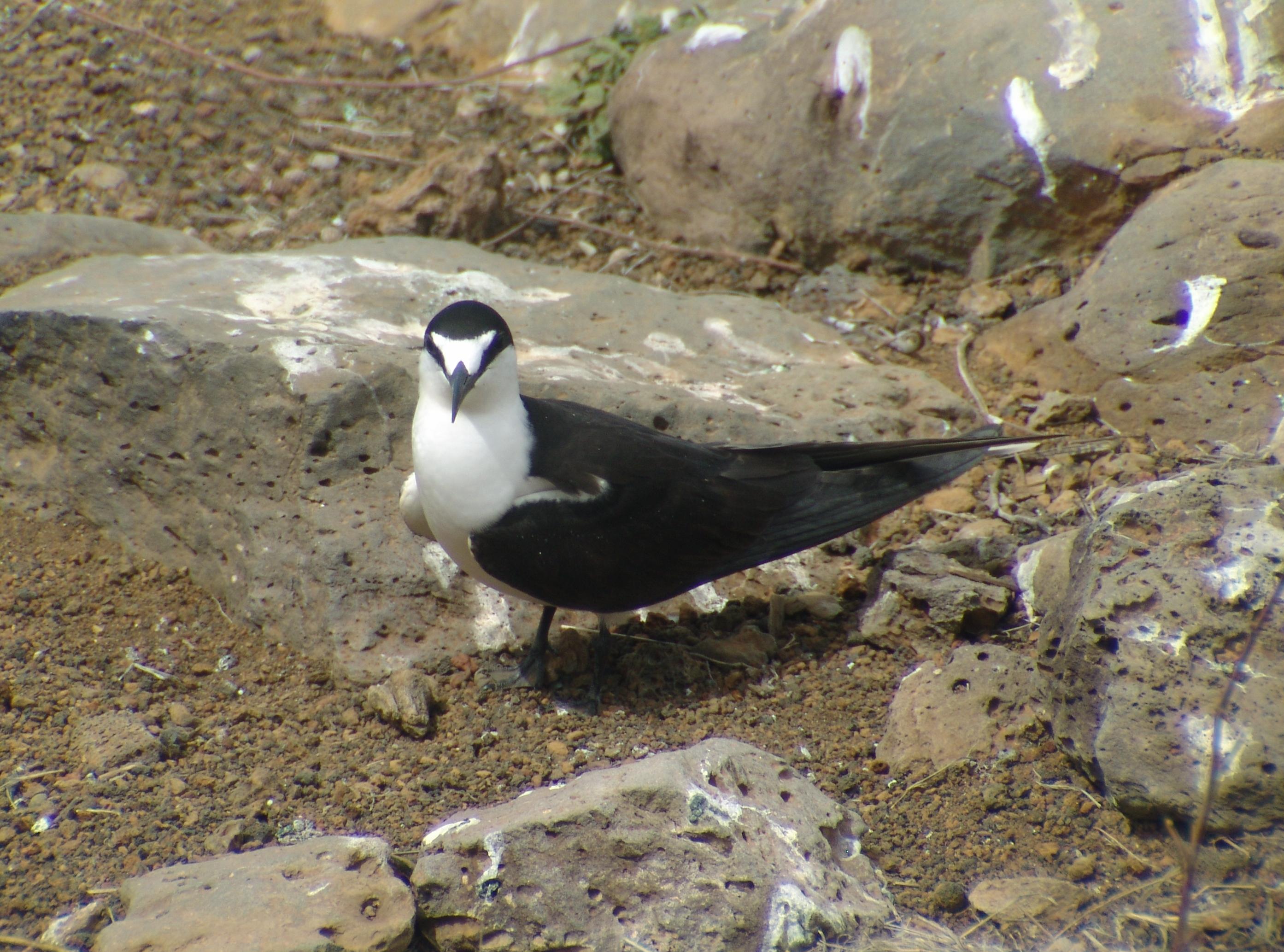 File:Onychoprion fuscatus Ascension Island 2.jpg.