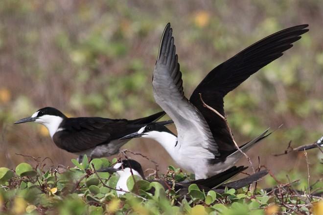 Oriental Bird Club Image Database : Sooty Tern » Onychoprion fuscatus.