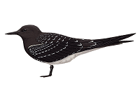 Sooty Tern (Onychoprion fuscatus).