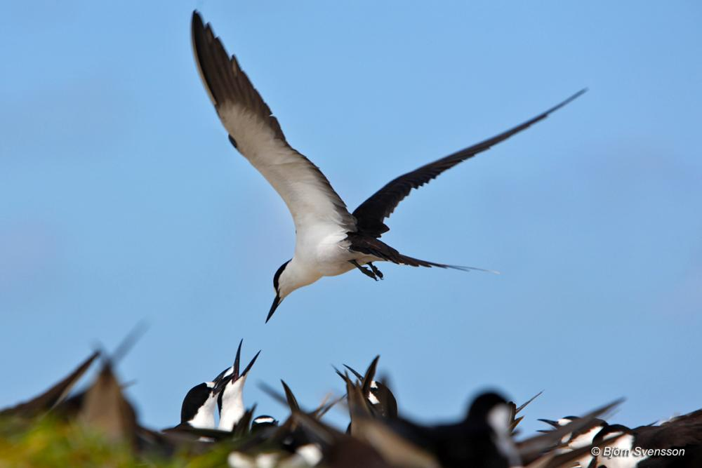 Photos of Sooty Tern (Onychoprion fuscatus).