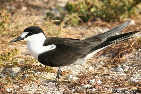 Onychoprion fuscatus (Sooty Tern).