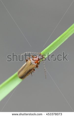 Cantharidae Stock Photos, Royalty.