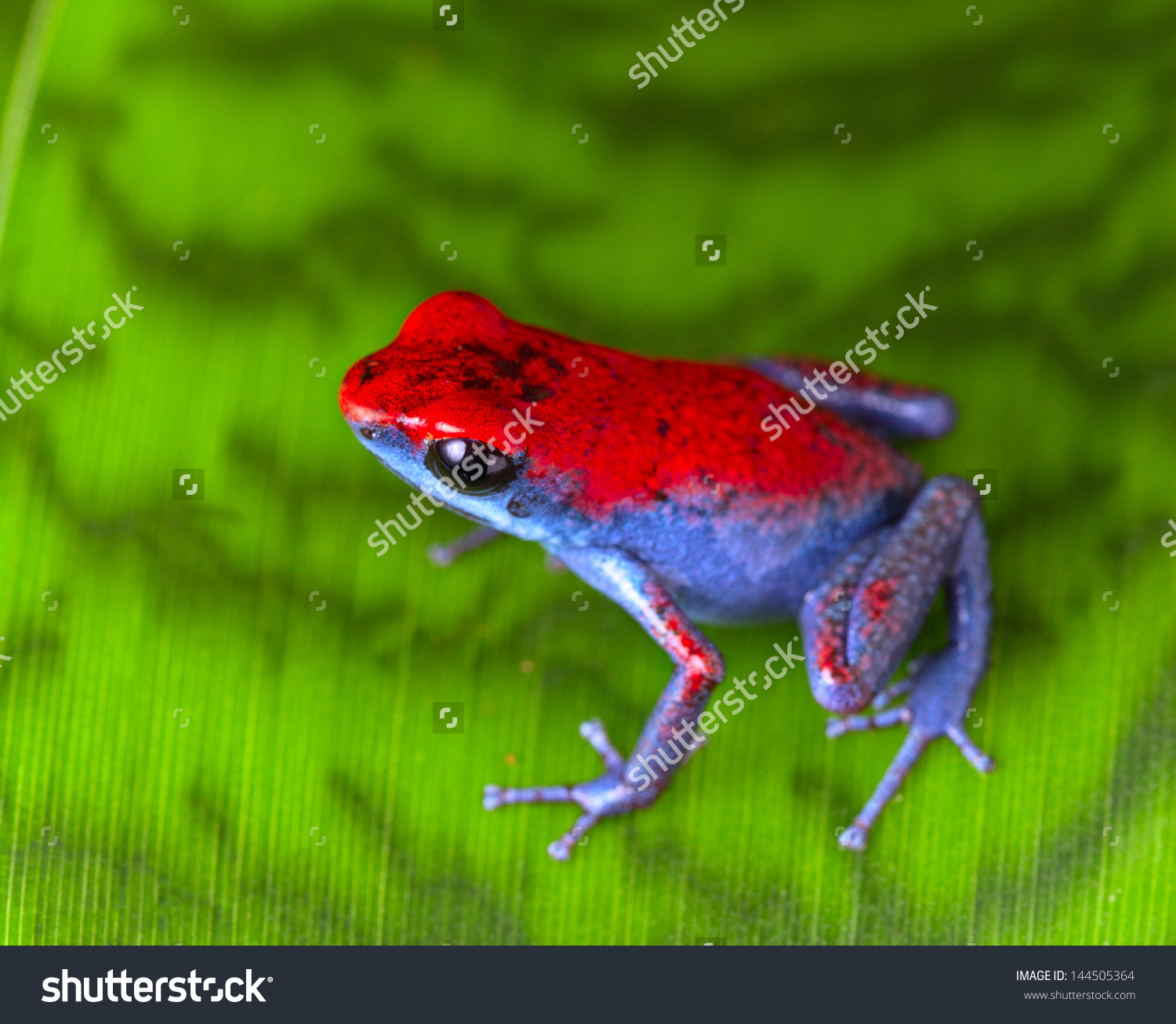 Strawberry Poison Dart Frog Red Blue Stock Photo 144505364.