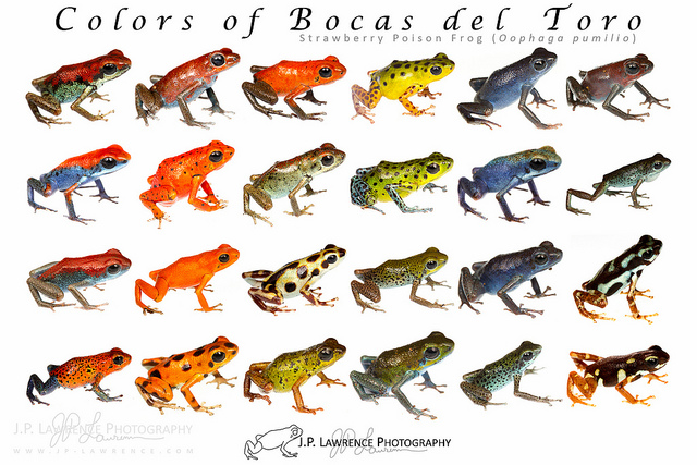 "libutron: "" Variety of morphs of Oophaga pumilio from Bocas del."