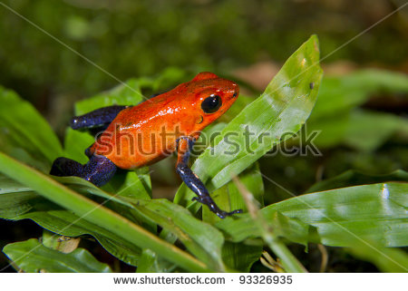 Strawberry Or Blue Jeans Poison Dart Frog (Oophaga Pumilio, Or.