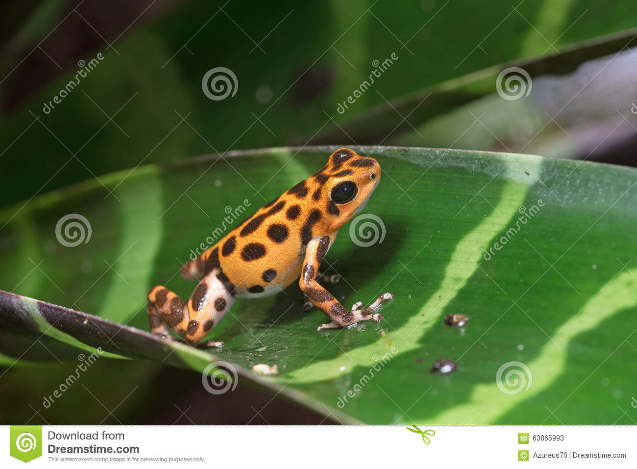 Spotted Dart Frog / Oophaga Pumilio Stock Image.