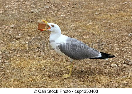 Pictures of seagull eating biscuit human trash open bill new.