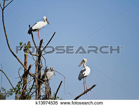 Stock Image of The open bill ibis k13974535.