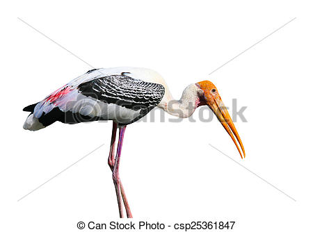 Stock Photo of Asian Openbill stork bird isolated on white.