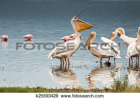 Pictures of Pelican with Open Bill k25593428.