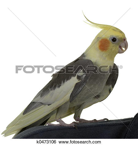 Stock Images of Cockatiel with open Bill k0473106.