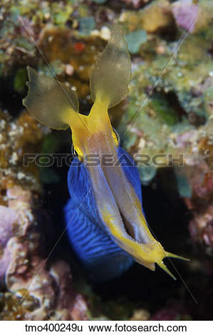 Stock Images of A blue ribbon eel displays its open mouth to the.