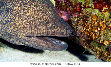 Moray With Open Mouth Stock Images, Royalty.