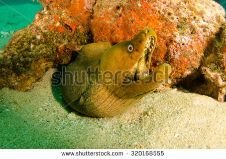 Moray Eel Stock Images, Royalty.