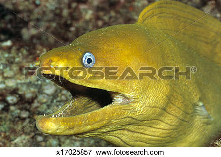 Picture of Panamic Green Moray Eel (Gymnothorax castaneus) with.