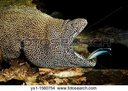 Stock Photo of Honeycomb Moray Eel, gymnothorax favagineus, Adult.