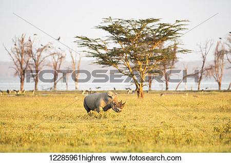 Stock Images of White Rhinoceros (Ceratotherium simum) grazes in.