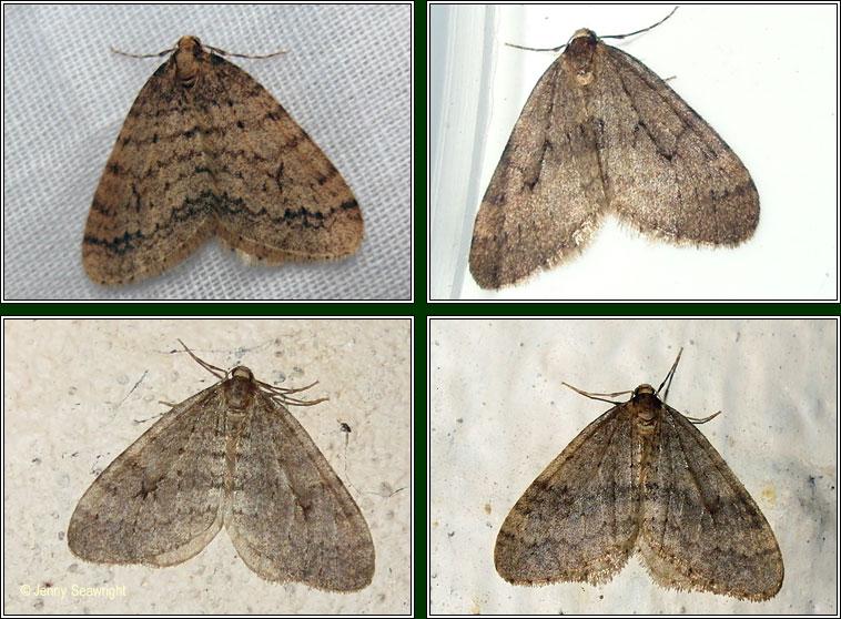 Irish moths.