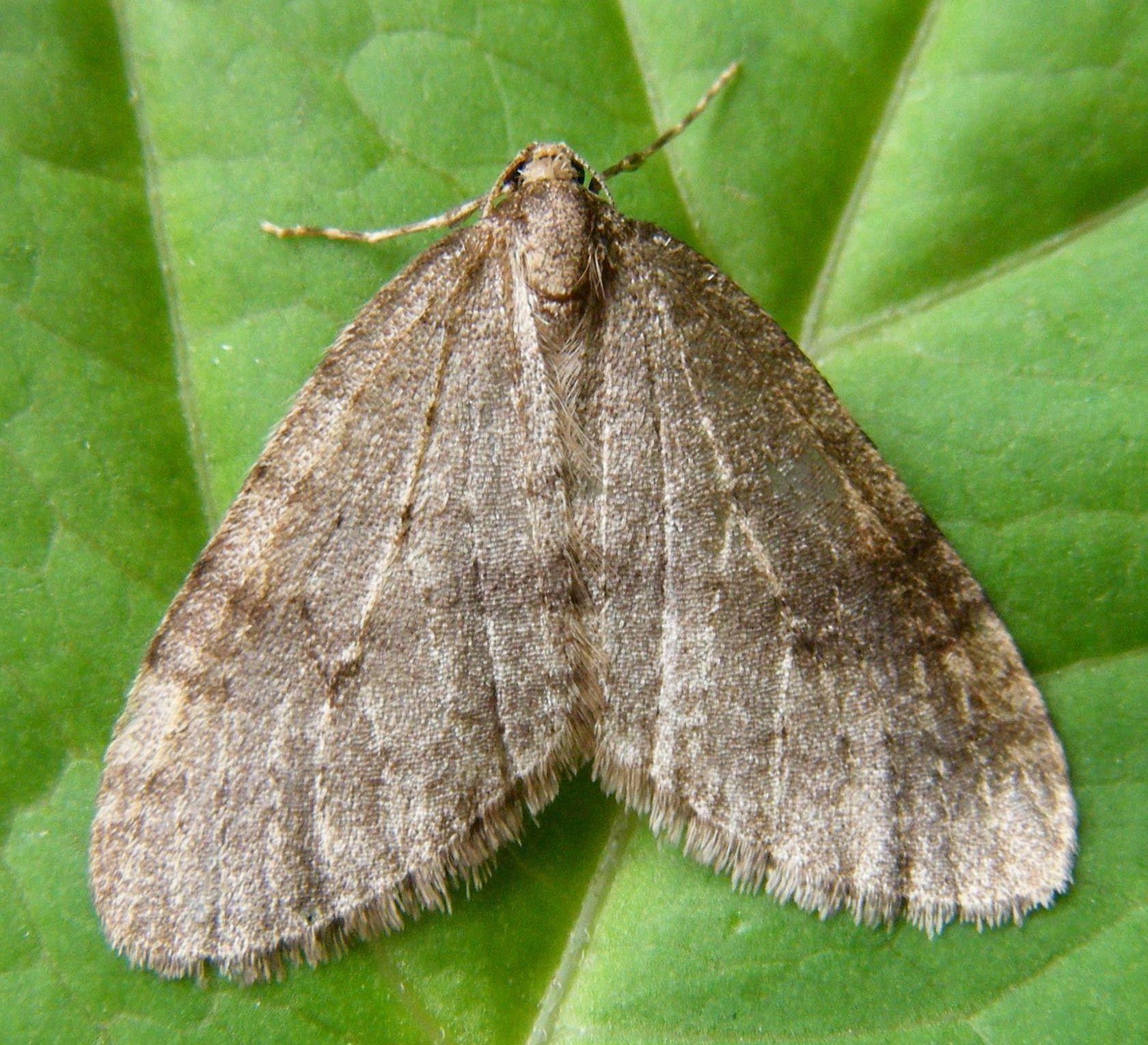 Northern Winter Moth.