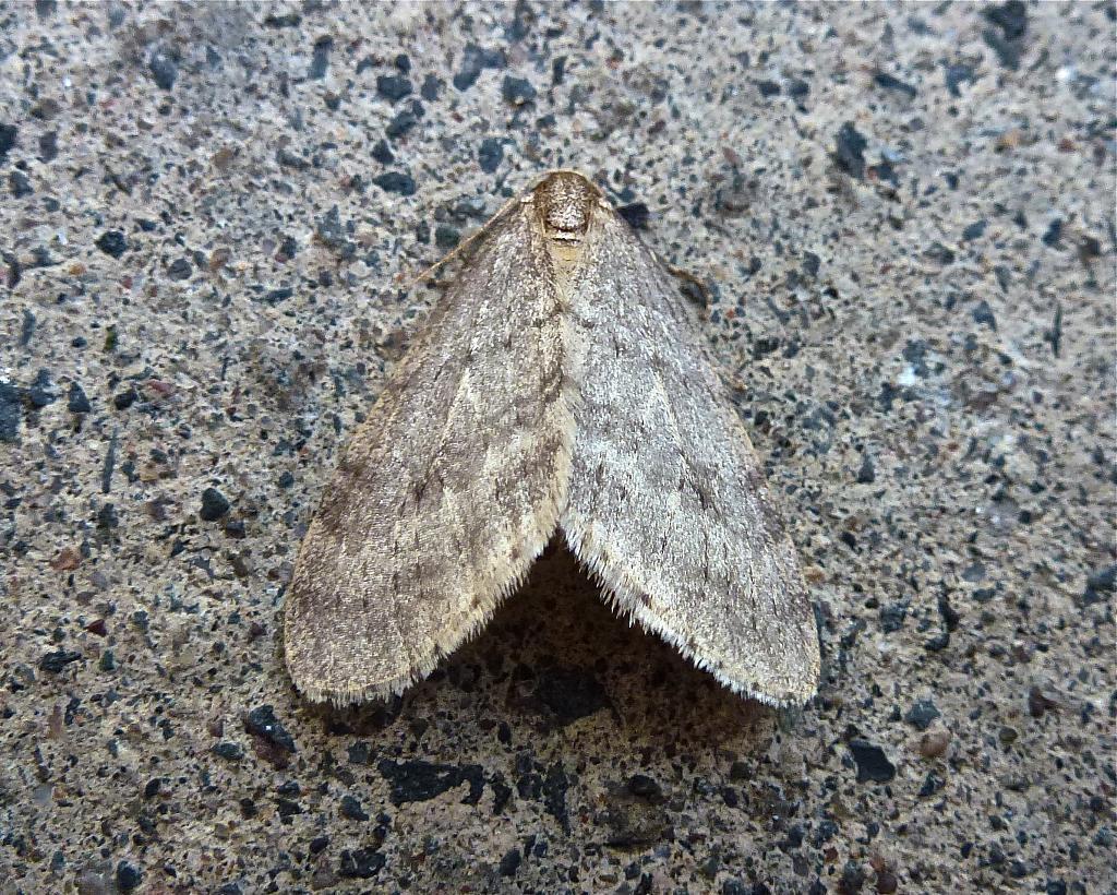 70.105 Northern Winter Moth, Operophtera fagata, Co Tyrone.