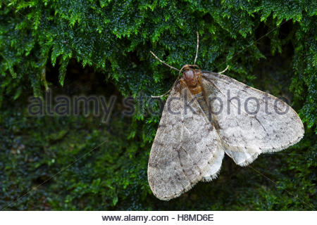 Winter Moth Stock Photos & Winter Moth Stock Images.