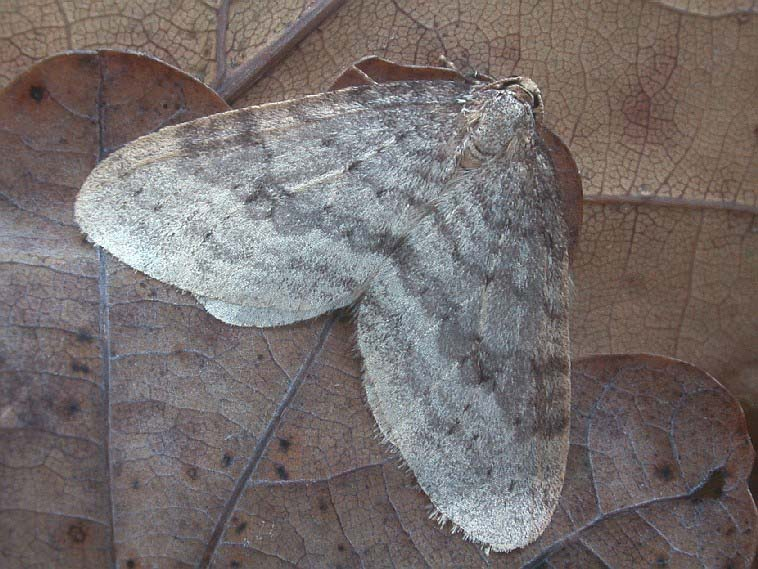 Northern Winter Moth Operophtera fagata.