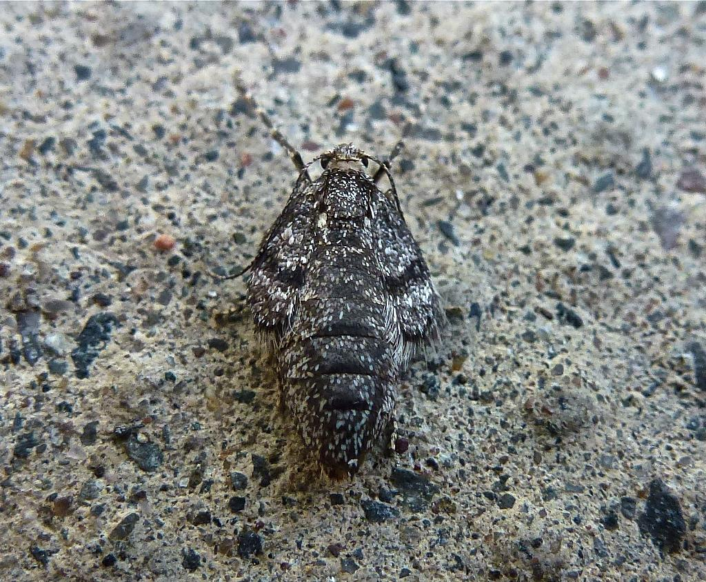 70.105 Northern Winter Moth, Operophtera fagata, Co Tyrone.