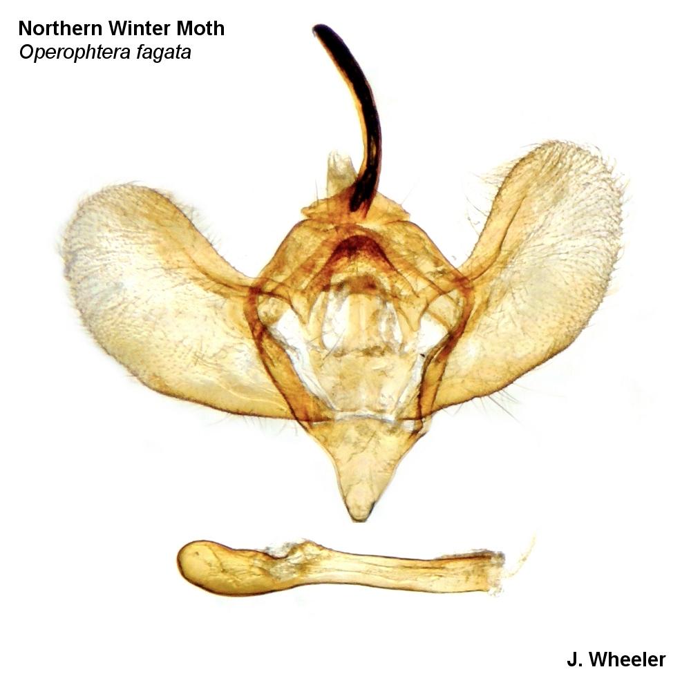 Northern Winter Moth (Operophtera fagata).