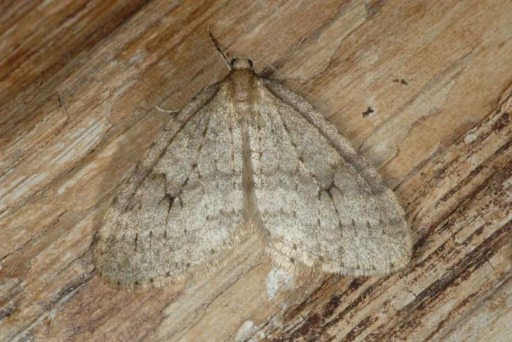 European Lepidoptera and their ecology: Operophtera fagata.